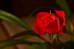 DSC_3812 (emina.knezevic) Tags: flower macro macrophotography nature naturephotography rose roses redrose flowers