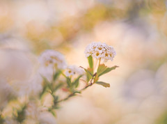 Reeves spirea in soft (Tomo M) Tags: コデマリ bokeh pentacon 50mm soft dreamy white macro nature light macromademoiselle