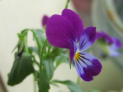 my pansy (VERUSHKA4) Tags: bokeh violet viola flora fleur vue view balcony home summer july blossom nature canon europe russia ville city moscow summertime purple yellow beautiful tiny petal green leaf verdure greenery pansy pansies kissmequick loveinidleness astoundingimage magicmoments