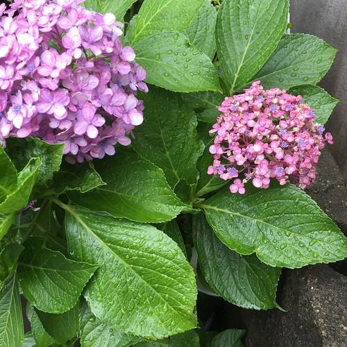 いま、紫陽花は