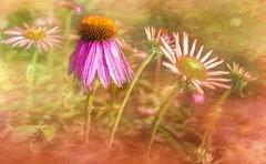 Garden Art (Wes Iversen) Tags: burton formarnaturepreservearboretum garden htt michigan nikkor18300mm texturaltuesday blooms blossoms coneflowers flowers painterly texture echinacea