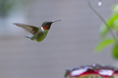 Male Ruby Throated Humming Bird (brucetopher) Tags: hummingbird bird birds newenglandbirds capecodbirds hover fly flight flying air aerial signsofspring migratory migrant summervisitor animal creature tiny little small fast quick green red nectar sugarwater sugar 7dwf