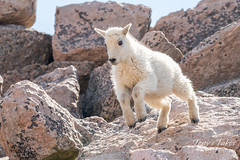 Mountain Goat kid bounds by - Sequence - 11 of 17