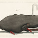 Entertainments from Natural History - Fish (1798), an erected sperm whale shooting up water through a blowhole. Digitally enhanced from our own original plate.
