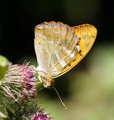Butterfly (LuckyMeyer) Tags: insect butterfly schmetterling makro flower fleur distel garden
