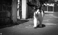 2018_195 (Chilanga Cement) Tags: fuji fujifilm fujix100f xseries x100f 100f bw blackandwhite monochrome cat kitty kitten sidewalk pavement catsofflickr cats