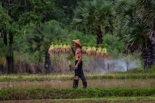 Farmer are planting rice in the rainy season