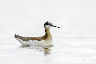 Still... in a High-Key Mood - Wilson's Phalarope Female