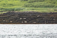 Children of the Sea (fossilsandfilms) Tags: scotland united kingdom dunvegan castle isle skye harbour seals harbor common seal wildlife water