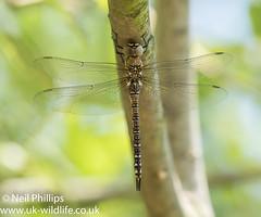 Migrant hawker-2 (Neil Phillips) Tags: aeshna aeshnidae anisoptera epiprocta insecta arthropod arthropoda bug dragonfly hawker hexapod insect invertebrate migranthawker