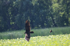 img_100-3653 (Mark Eichin) Tags: greatmeadowsnationalwildliferefuge turkeyvulture concord feathers attack massachusetts redwingedblackbird