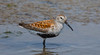 _U7A3358 (rpealit) Tags: scenery wildlife nature edwin b forsythe national refuge brigantine dunlin bird