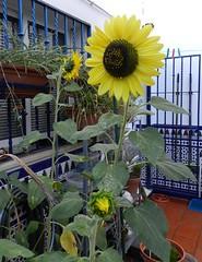 GIRASOLES (DAGM4) Tags: sevilla seville andalucía andalusie españa europa espagne europe girasoles espanha espagna espana espanya espainia spain spanien 2018 flor
