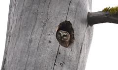 Northern Saw-whet Owl (Christopher Lindsey) Tags: northernsawwhetowl oregon birds birding morrowcounty potamuspoint