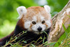 Red Panda (Mathias Appel) Tags: grã¼n red panda animal tier roter kleiner nikon bokeh cute adorable sweet niedlich süs sues suess tree green species bedrohte tierart zoo tierpark deutschland germany female weiblich young jungtier bamboo baum jung ears ohren face gesicht tail schwanz nose nase orange fur fell high iso animals nature natur wildlife bedroht ailurus fulgens vintage 2015 mozilla firefox feet paws paw foot wochenende weekend spring frühling depth depthoffield field blur endangered d7100