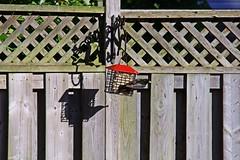 Happy Fenced Friday - HFF & TGIF! (Daryll90ca) Tags: fence fencedfriday hff bird starling critter suet suetfeeder