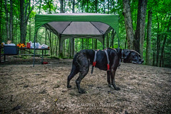 Our Campsite Companion, 2018.06.22 (Aaron Glenn Campbell) Tags: frozenhead statepark naturalarea wartburg morgancounty tn tennessee outdoors optoutside campsite companion pet canine puppers dog doggo picnictable coleman canopy sunshelter macphun noiseless luminar on1effects nikcollection analogefexpro viveza sony a6000 ilce6000 mirrorless rokinon 12mmf2ncscs wideangle primelens manualfocus emount