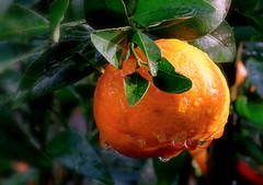 Winter Fruit cheering us all on (flowrwolf) Tags: flickrfriday rainydaysand justedutalent sundaylights yummy fruit rain raindrops mandarin orange outside outdoors thegreatoutdoors green stems stem leaf leaves raindropsonamandarin raining nature edible winterfruit naturallight freshfruit inmygarden sony sonyhx400v ps pointandshoot flowrwolf