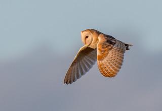 DSC0909  Barn Owl -