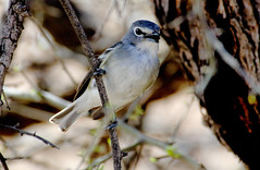 Plumbeous Vireo (Vireo plumbeous); Catalina, AZ, Catalina Regional Park [Lou Feltz] (deserttoad) Tags: nature animal bird wildbird songbird fauna vireo desert arizona