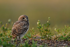 What's goin' on? (craig goettsch) Tags: sanibel2018 burrowingowls capecoral owl chick owlette green bird avian wildlife nature nikon d850 ngc