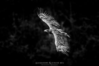 White Tailed Eagle - Pygargue à queue blanche