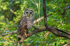 _S7A2788-Barred-owl (little river2006) Tags: barred owl