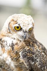 Fluffy Owl Chick (enneafive) Tags: owl oehoe americaneagleowl chick fluffy bird closeup fujifilm xt2 nature birdofprey