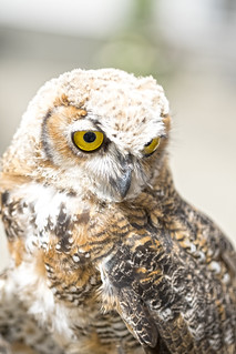 Fluffy Owl Chick