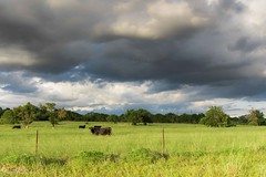 Cows and Clouds (Jason Frels) Tags: cows pasture landscape clouds cattle