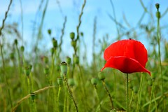 DSC_3819 (emina.knezevic) Tags: flower grass sky reedflower nature naturephotography field wildflowers redpoppy poppy fieldpoppy opiumpoppy