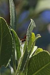 Parasitic Wasp? (edward_rooks) Tags: sierraazulopenspacepreserve bald mountain mount umunhum insects wildflowers butterflies bees wasps assassin bug