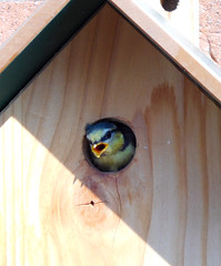 """Wow, it's a big world outside the nest box!"" (EvelienNL) Tags: bird bluetit cyanistescaeruleus songbird tit nest nestbox nestingbox mees pimpelmees nestkast nesthuisje baby youngster chick fledgeling peek peeking curious lookingout vogeltje nieuwsgierig gluren glurend cute schattig beak bill openbeak openbill chirping calling"