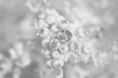 Ragwort Revealed (Richie Rue) Tags: common ragwort weeds flowers buds plants flora nikond300 monochrome blackandwhite bnw bw highkey softfocus art fineart contemplative meditative mindfulphotography