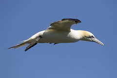 Gannet (morus bassanus) (Steve Ashton Wildlife Images) Tags: northern gannet northerngannet morus bassanus morusbassanus bempton cliffs east yorkshire