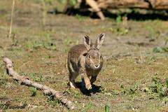 IMG_4156 (Twainwall) Tags: rabbit wildlife nature naturalworld cute naturephotography photography summer 2018
