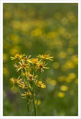Fiore 245 (Outlaw Pete 65) Tags: macro closeup fiori flowers colori colours giallo yellow verde green natura nature parconaturaleadamellobrenta zonadiriservanaturaleorientataaltocadinovalfredda nikond750 sigma105mm breno lombardia italia