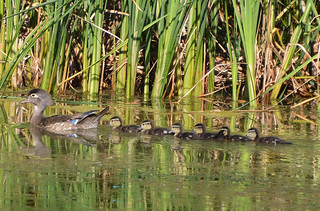 Mother Wood Duck and six young ones