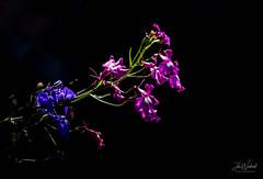 Lobelia (John Woodward Photography) Tags: lobelia flower garden gardens summer summertime shropshire canon canondslr canoneos canonllenses canon5dmarkiv llenses