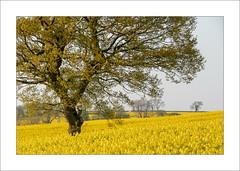 Robin Hood Hill (Steve-T201) Tags: robinhoodhill nottinghamshire spring oilseed yellow trees countryside
