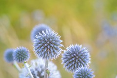 DSC_1982 (benji86cz) Tags: helios helios44m manualfocus oldlens nikon d3300 flower
