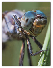 LIBELLULE FAUVE (Olympus Passion eric leroy) Tags: bleu libellule fauve dragonfly odonate macro focus stacking olympus omd em1 mkii zuiko 60mm
