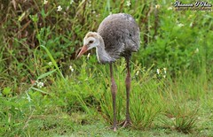 He's got skinny legs like I always wanted (Shannon Rose O'Shea) Tags: shannonroseoshea shannonosheawildlifephotography shannonoshea shannon sandhillcrane crane bird beak feathers skinnylegs birdyfeet grass green daisies circlebbarreserve lakeland florida flickr wwwflickrcomphotosshannonroseoshea nature wildlife waterfowl wild wildlifephotography wildlifephotographer wildlifephotograph colorful outdoors outdoor juvenile canon canoneos80d canon80d eos80d 80d canon100400mm14556lisiiusm femalephotographer girlphotographer womanphotographer shootlikeagirl shootwithacamera throughherlens fauna gruscanadensis flowers