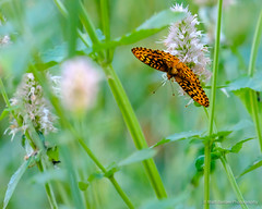 Birth of the Butterfly (Matt Barlow Photography) Tags: idaho summer cocoon flowers outdoor close butterfly bug bugs insects