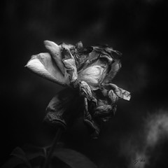 Roses in decay. (J. Javier Nerín.( Busy. Training orcs.)) Tags: pentax pentaxk1ii diylens diytripletlens triplet2´878 triplet roses flower garden summer blur bokeh extremebokeh bw chiaroscuro claroscuro lowkey square