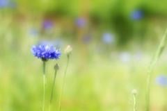Purple flower (Wilamoyo) Tags: harlowcarr harlowcarrgardensharrogate beauty flower purple single soft focus bokeh botany petals