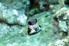 Smoth Trunkfish 1807017953w (gparet) Tags: scubadiving scuba diving fish coral reef ocean sea water underwater photography diver swim sport outdoor caribbean bonaire buddy dive resort buddydive buddydiveresort marshscuba marshscubasupply animal macro