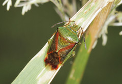 Birch Shieldbug - Elasmostethus interstinctus (Prank F) Tags: holmefen greatfen nationaltrust huntingdonuk wildlife nature insect macro closeup bug shieldbug birch elasmostethusinterstinctus