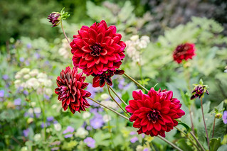 Dahlia In An English Country Cottage Garden.