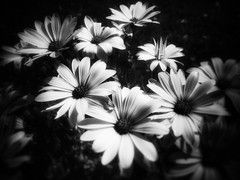 Flowers of July (LUMEN SCRIPT) Tags: repetition shadow light composition naturalcomposition visualpoetry visualart softfocus unsharp blur lowkey blackandwhite monochrome nature flower macro closeup close perspective artistic